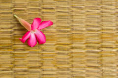 Adenium flowers on a wicker colors. Stock Image