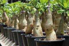 Adenium-Garten Stockfotografie