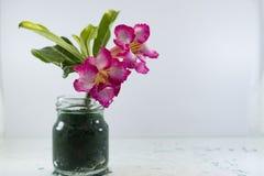 Adenium ist der Name von Spezies von bunten Blumen Lizenzfreies Stockbild