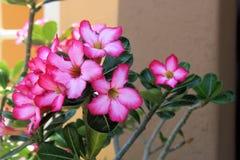 Adenium krzak w pełnym kwiacie Obrazy Royalty Free