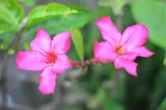 Adenium kwiatu echubioside Obrazy Royalty Free