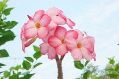 Adenium kwiaty Fotografia Stock