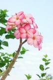 Adenium kwiaty Zdjęcia Stock