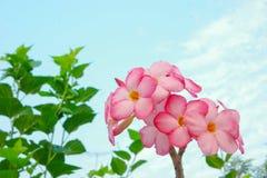 Adenium kwiaty Obrazy Stock