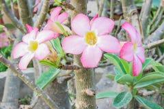 Adenium kwiaty Zdjęcie Stock