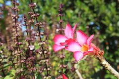 Adenium multiflorum and the bee. The tropical flower that can see in Thailand a lot royalty free stock photos