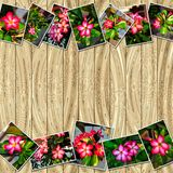 Adenium obesum堆照片  免版税库存图片