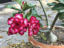 Adenium obesum或飞羚百合或者玫瑰色嘲笑的杜娟花或者的沙漠或Sabi星花 免版税库存照片