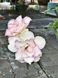 Adenium obesum或飞羚百合或者玫瑰色嘲笑的杜娟花或者的沙漠或Sabi星花 库存照片