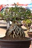 Adenium obesum树 库存图片