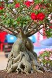Adenium obesum树 免版税库存图片