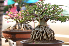 Adenium obesum树 免版税库存照片