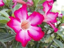 Adenium obesum,沙漠座莲,飞羚百合,假装杜娟花 库存照片