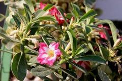 Adenium obesum,沙漠座莲 免版税库存图片