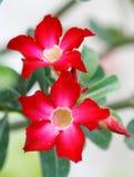 Adenium obesum Stock Images