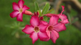 Adenium Obesum Desert Rose Pink Panning High Definition. Adenium obesum also known as desert rose in vibrant pink, panning panoramic high definition stock stock video footage