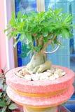 Adenium obesum Royalty Free Stock Image