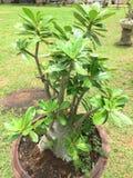 Adenium obesum Baum Lizenzfreie Stockfotografie