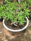 Adenium obesum Baum Lizenzfreie Stockfotos