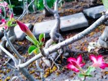 Adenium obesum Baum Lizenzfreies Stockfoto