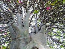 Adenium obesum Baum alias Wüstenrose, Lizenzfreie Stockbilder