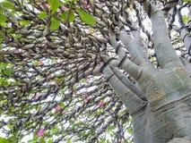 Adenium obesum Baum alias Wüstenrose, Stockfoto