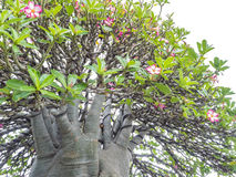 Adenium obesum Baum alias Wüstenrose, Stockfotografie