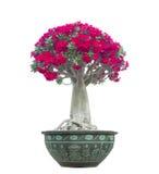 Adenium obesum Baum alias Wüstenrose Lizenzfreies Stockfoto