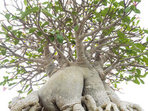 Adenium obesum Baum alias Wüstenrose, Stockfotos