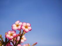 Adenium obesum Baum alias Wüstenrose, Impala-Lilie Lizenzfreie Stockfotos