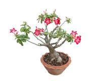 Adenium obesum Baum alias Wüstenrose, Thailand Lizenzfreie Stockbilder