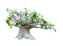 Adenium obesum Baum lokalisiert Stockbilder