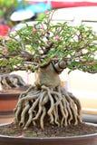 Adenium obesum Baum Stockbild