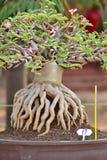 Adenium obesum Baum Lizenzfreies Stockbild