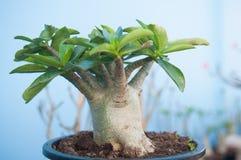 Adenium obesum Baum oder Wüstenrose im Blumentopf Lizenzfreie Stockfotos