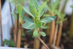 Adenium obesum Baum oder Wüstenrose im Blumentopf Lizenzfreie Stockfotografie