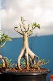 Adenium obesum Baum oder Wüstenrose im Blumentopf Stockfotografie
