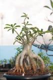 Adenium obesum Baum oder Wüstenrose im Blumentopf Stockbild
