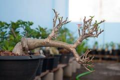 Adenium obesum Baum oder Wüstenrose im Blumentopf Lizenzfreie Stockbilder