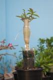 Adenium obesum Baum oder Wüstenrose im Blumentopf Stockfotos