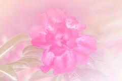 Adenium obesum Baum, rosa Blume, Wüstenrose Lizenzfreies Stockbild