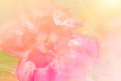 Adenium obesum Baum, rosa Blume, Wüstenrose Stockfotos