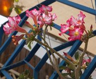 Adenium obesum Blüte Stockfotografie