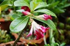 Adenium Obesum-Blume Lizenzfreies Stockbild