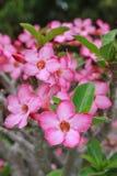 Adenium Obesum-Blume Stockfoto
