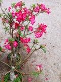Adenium Obesum-Blume Lizenzfreies Stockfoto