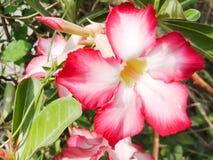 Adenium Obesum-Blume Lizenzfreie Stockfotos