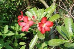 Adenium Obesum-Blume Lizenzfreie Stockfotografie