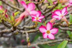 Adenium Obesum-Blume Lizenzfreie Stockbilder