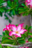 Adenium obesum Blume Heilpflanzen Lizenzfreie Stockbilder